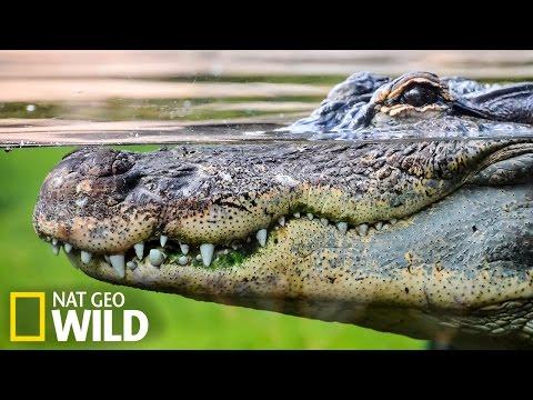 Crocodile dans les eaux de Cuba - Nat Geo Wild
