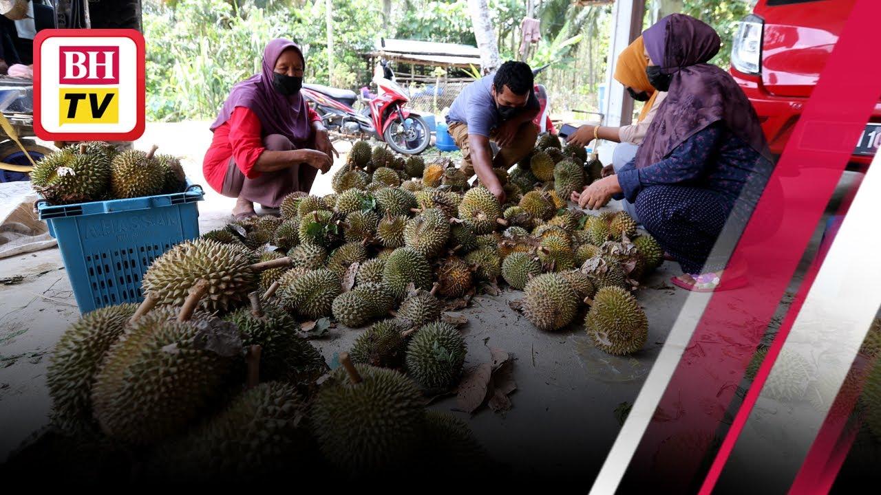 Download Durian dijual serendah 50 sen di Jeli, Tanah Merah