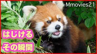枝にぶら下がるレッサーパンダ円実Red Panda hangs on a branch
