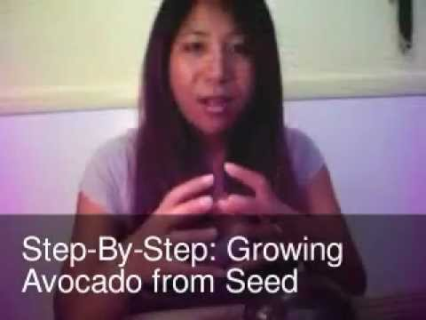 Step by step growing avocado from seed youtube for How do you grow an avocado seed