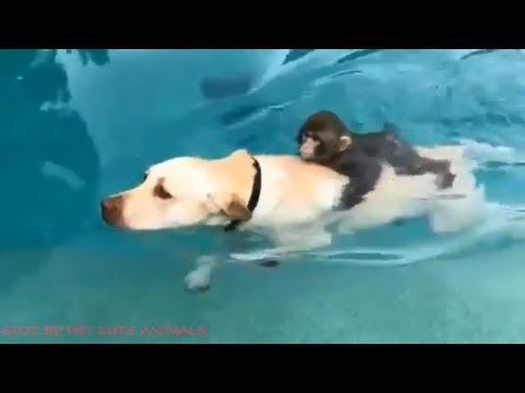 SWIMMING With Snow Monkey, Chimpanzee, Dogs, Lions, Tigers, Wolf and Elephant