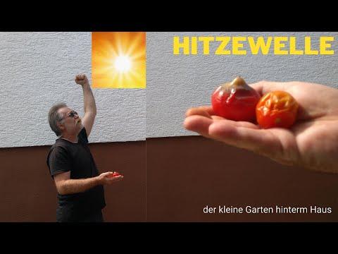 hitzeschäden-tomaten/-paprika-vermeiden-richtig-gießen-und-mulchen-beete-gewächshaus-beschatten