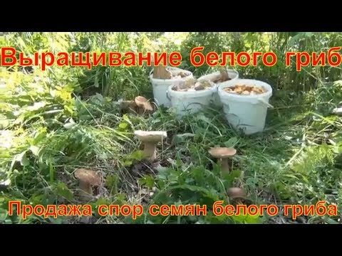 купить мицелий для грибов в спб