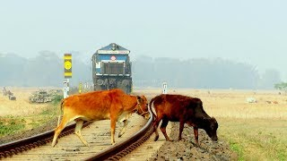 Life vs Death | 7 cows miraculously crosses railway line in front of speeding train in Tezpur Assam