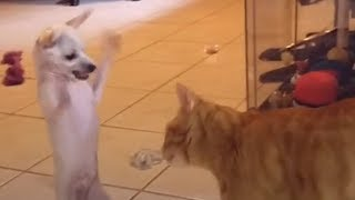 Tiny Dog Wants To Play with Bigger Cat Siblings | The Dodo
