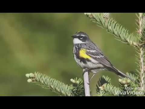 Yellow rumped warbler song
