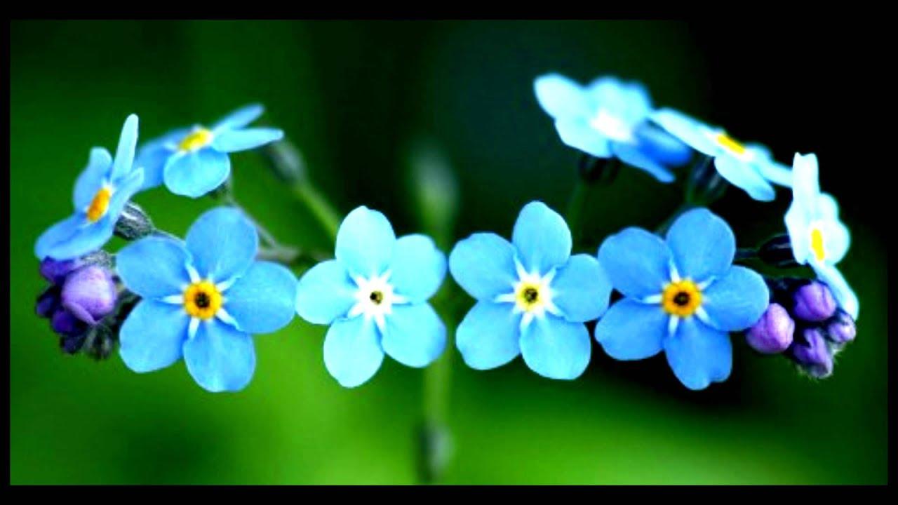 "Tu Jardín: Flor ""No Me Olvides"" (myosotis)"