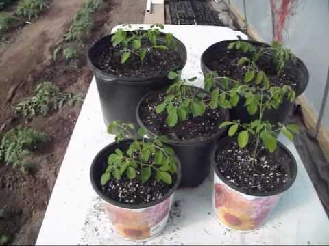 Growing Moringa - The First 30 Days