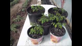 Growing Moringa - The First 30 Days