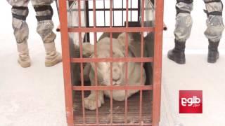 Border Police Seize Six Lions At Spin Boldak Crossing/از قاچاق شش شیر به پاکستان جلوگیری شد