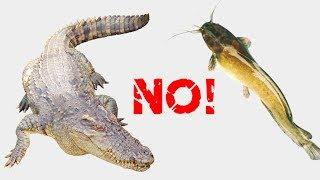 Crocodile dislikes catfishes – feeding all animals (Cá sấu chê cá trê, cho tất cả các con vật ăn)