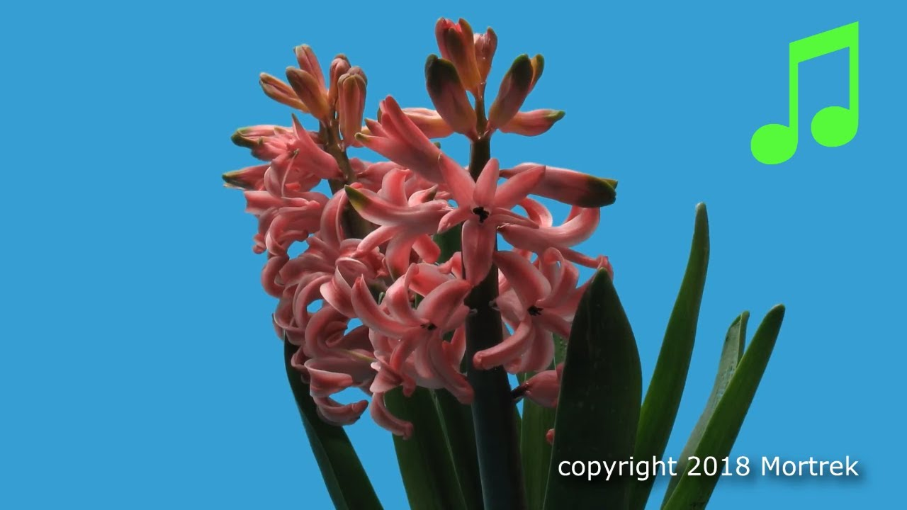 Time Lapse of a Hyacinth Blooming and Wilting - YouTube