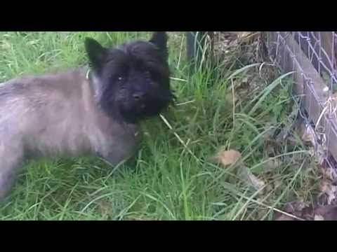 Cairn Terrier Brilliant Billy grazing.