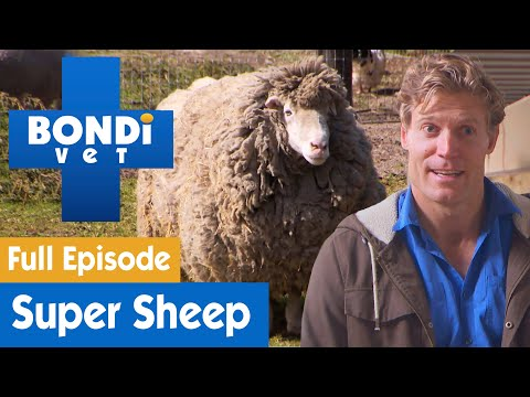 Sheep Has Too Much Wool And Needs A Shave | FULL EPISODE | S07E11 | Bondi Vet