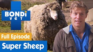🐑 Sheep Has Too Much Wool And Needs A Shave | FULL EPISODE | S07E11 | Bondi Vet