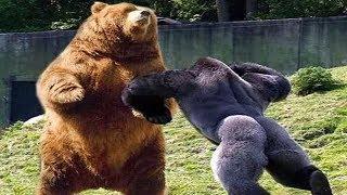Wer würde einen Kampf gewinnen Gorilla gegen Grizzly?