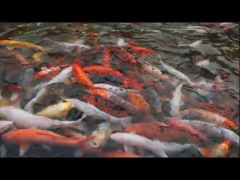 Koi Pond Relaxation Video HD