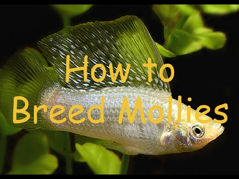 How To Breed Mollies