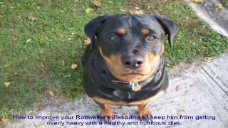 Rottweiler Obedience Training Tips Step