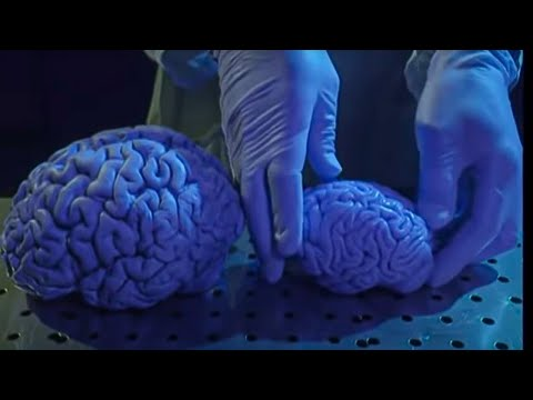 My brain is bigger than your brain: humans vs apes - Apes - BBC