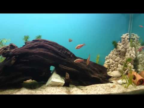 Como criar peixe acara disco