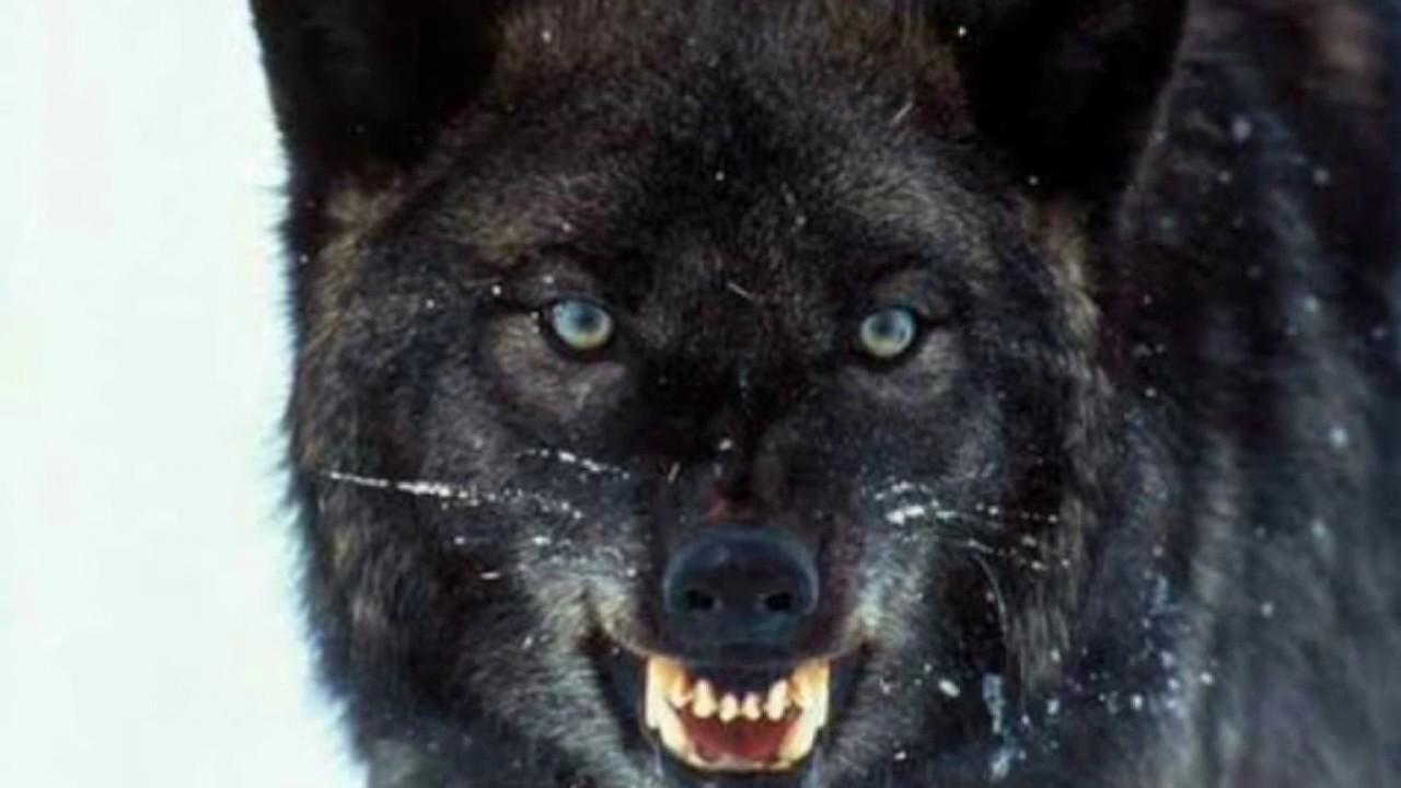 фото картинки красивые волки