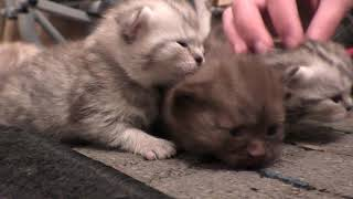 Котята открывают глаза взвешивание и какой окраски у шотландской вислоухой.