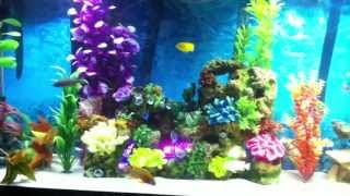 Very Colorful African Cichlid Tank Hd