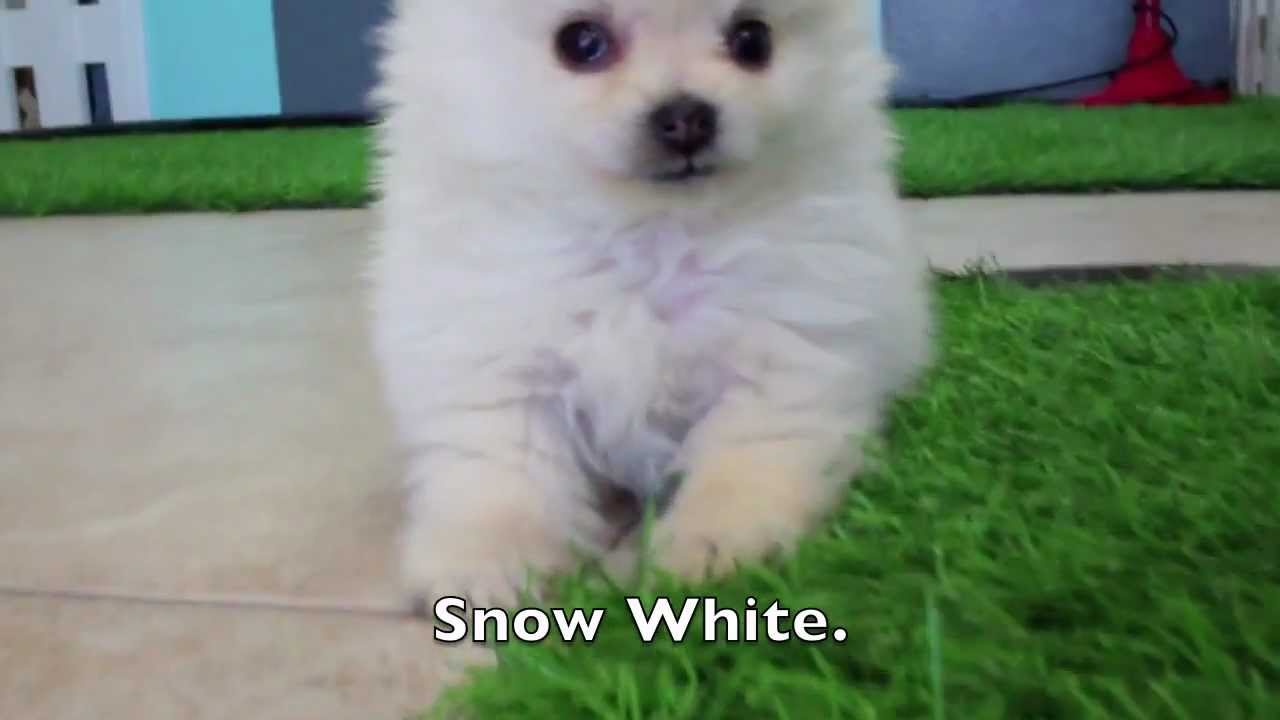 WHITE Teacup Pom Puppies for Sale in San Diego! California Puppy