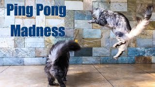Ping Pong Madness I How Maine Coon cats play.