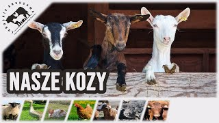 Lubuskie Angusowo - nasze kozy