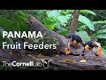 Panama Fruit Feeder Cam at Canopy Lodge | Cornell Lab