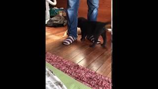 説明 子猫VS甲斐犬仔犬.