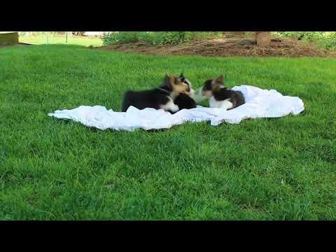 Corgi Puppies For Sale Benjamin King Jr  2nd litter