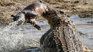 Repeat youtube video Crocodile eating : Hippo , boar , Turtle... |The Horrific Bites and Crushed Prey In A Flash.