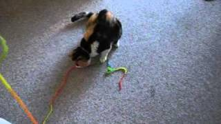 Kally the Calico Cat playing with a Cat Toy (Part 1 of 2)