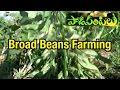 Download Lagu Broad Beans Chettu Chikkudu Farming : Paadi Pantalu | Express TV.mp3