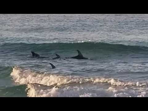 Dolphins offshore at Panama City Beach
