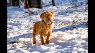 Der Kleine Major Bordeaux Dogge Dogue De Bordeaux Funny Puppy