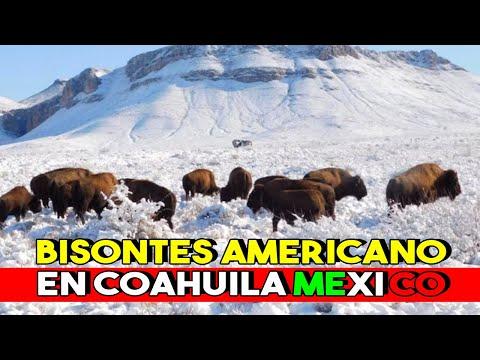 Secretaria del Medio Ambiente tiene éxito en la reproducción del Bisonte Americano en Coahuila Mex.