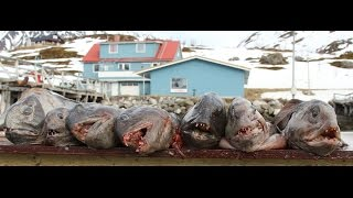 Нападение зубатки.Рыбалка и подводная охота в Норвегии.  http://wild-fishing-norway.ru/