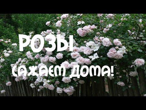 Саженцы Саженцы от производителя Плетистые розы