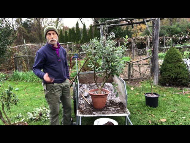 ROOT PRUNING A POTTED PLANT