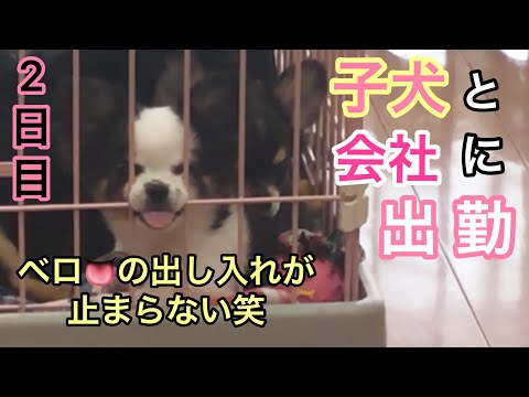 【2日目】会社に子犬と出勤しました♪Chihuahua puppies growth record.【チワワ】【可愛い】【子犬】Working in the office with a puppies