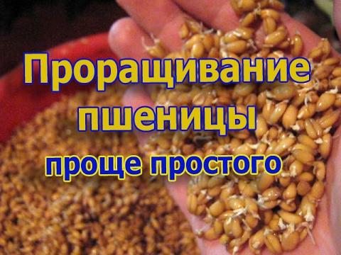 Проращивание пшеницы для кур. Проще простого (укр.)