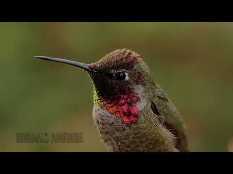 Real 4K HDR 60fps: Anna's Hummingbird in HDR