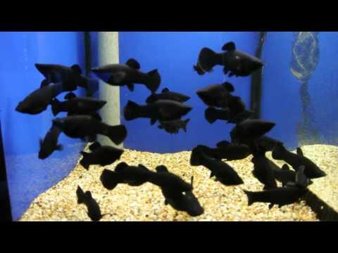 Black Molly Tropical Fish