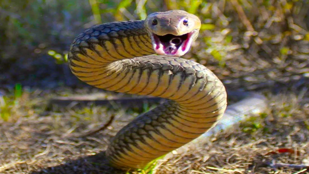 ВОСТОЧНАЯ КОРИЧНЕВАЯ ЗМЕЯ - Самая Агрессивная Среди Ядовитых Змей в Мире!