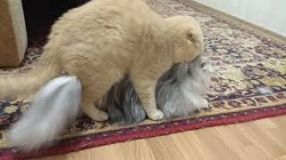 Вязка Симы и длиношерстной кошечки +12 #matingcats