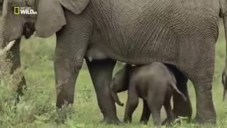 Животные саванны  Дикая Африка  Удивительные слоны  Nat Geo WILD